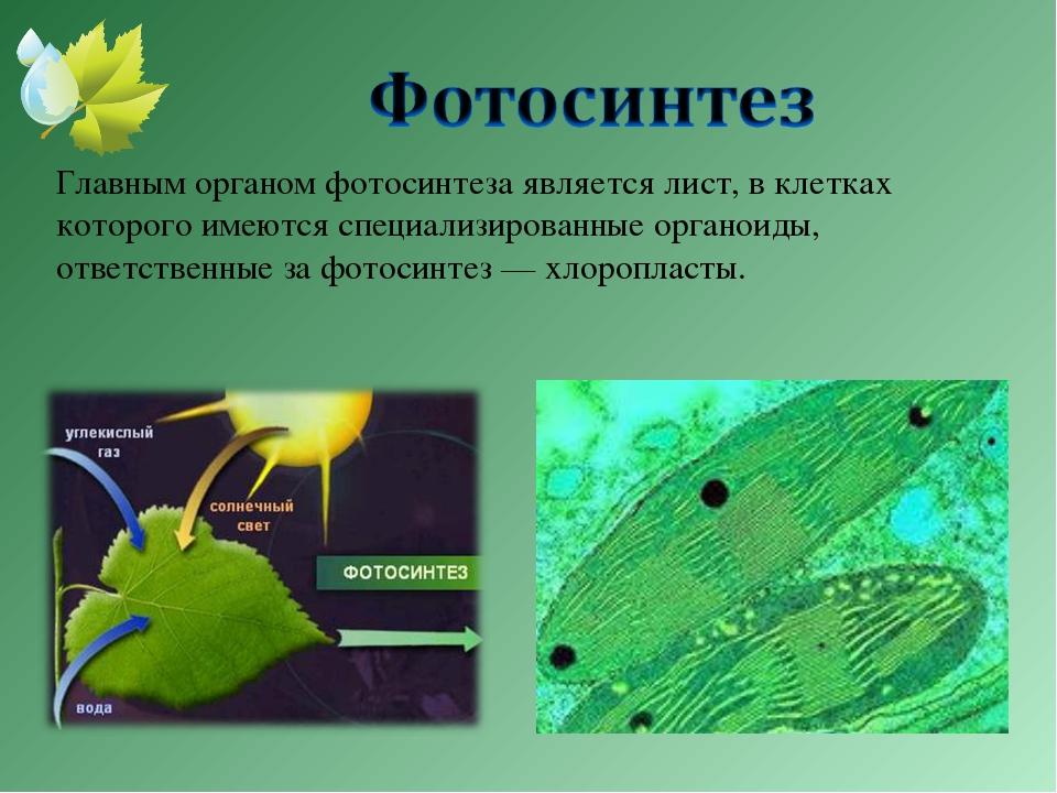 Главным органом фотосинтеза является лист, в клетках которого имеются специа...