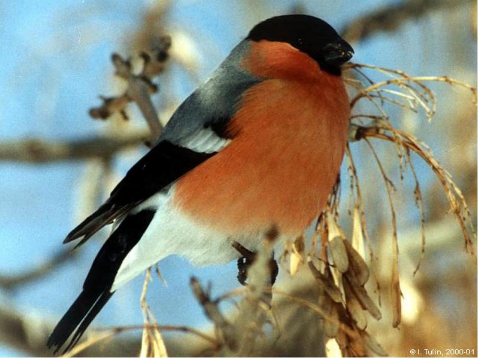 самый снегири птицы картинки с названиями перекрещивались серп молот
