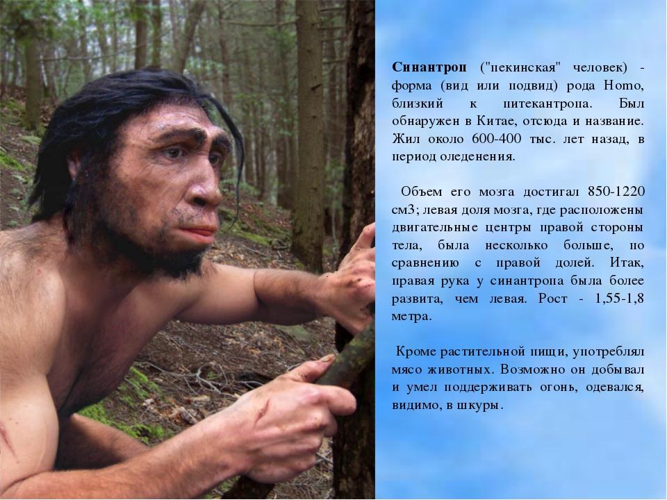 """Синантроп (""""пекинская"""" человек) - форма (вид или подвид) рода Homo, близкий к..."""