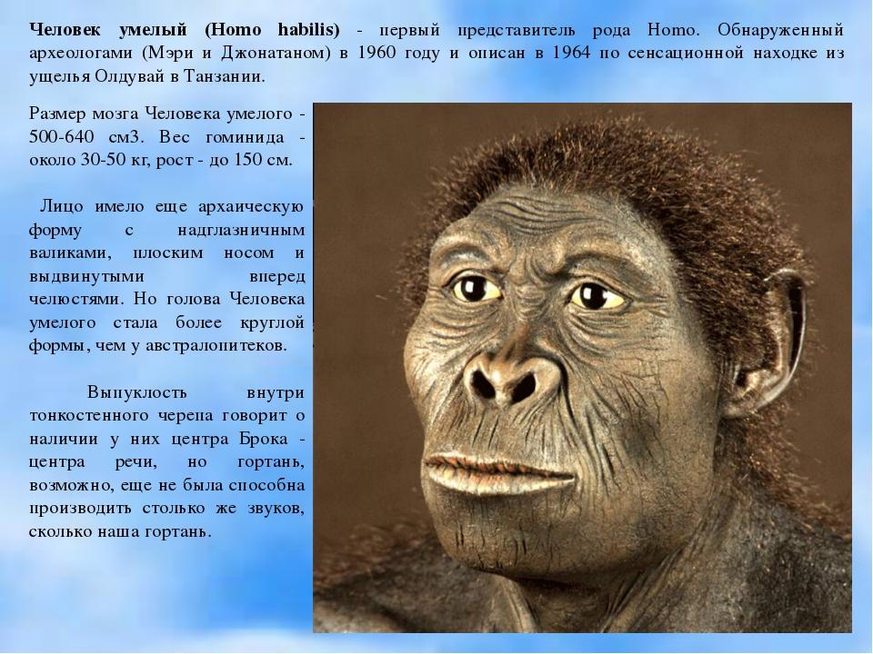 Человек умелый (Homo habilis) - первый представитель рода Homo. Обнаруженный...