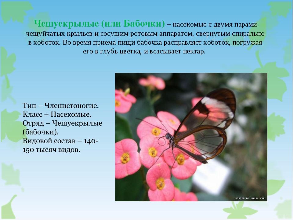 Чешуекрылые (или Бабочки) – насекомые с двумя парами чешуйчатых крыльев и сос...