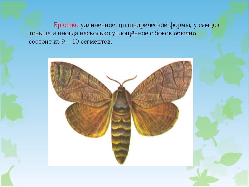 Брюшко удлинённое, цилиндрической формы, у самцов тоньше и иногда несколько...