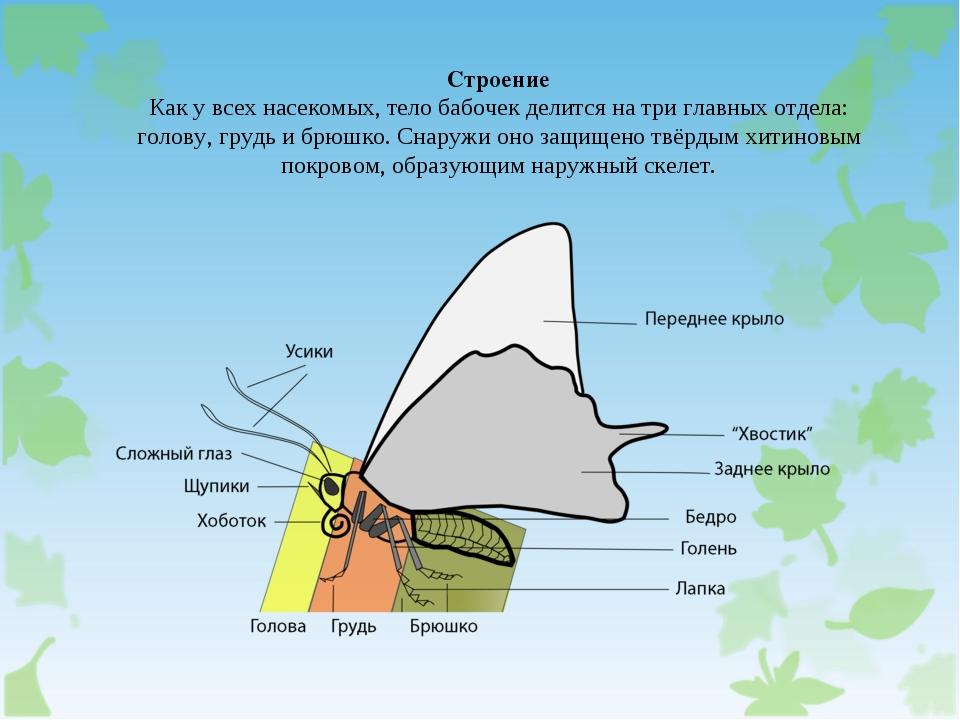 Строение Как у всех насекомых, тело бабочек делится на три главных отдела: го...