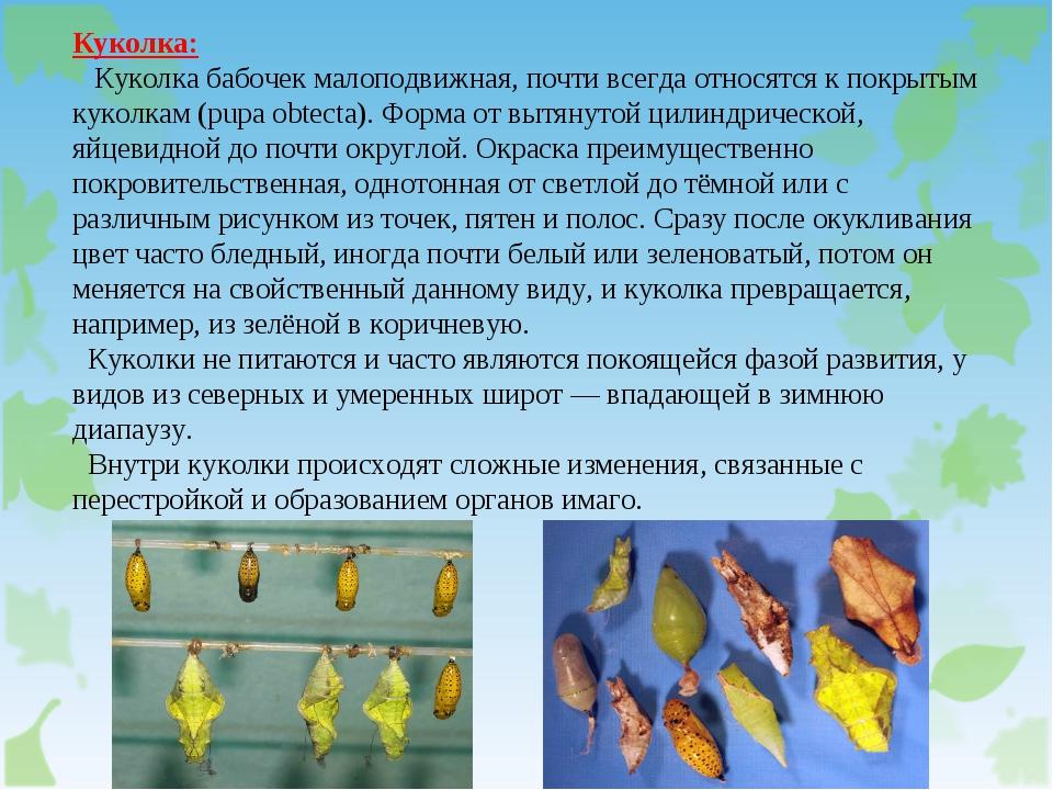Куколка: Куколка бабочек малоподвижная, почти всегда относятся к покрытым кук...