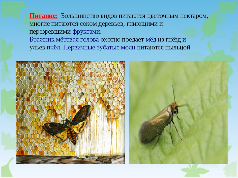 Питание: Большинство видов питаются цветочным нектаром, многие питаются соком...
