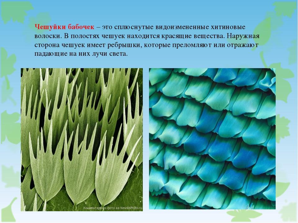 Чешуйки бабочек – это сплюснутые видоизмененные хитиновые волоски. В полостях...