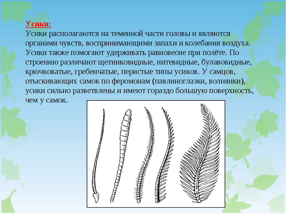 Усики: Усики располагаются на теменной части головы и являются органами чувст...