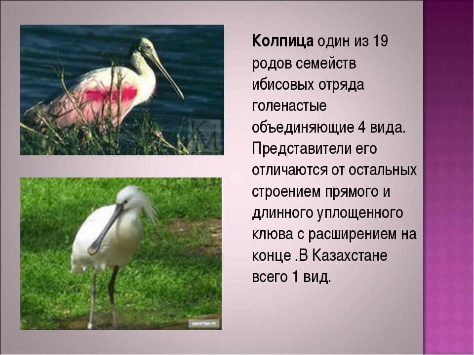 Колпица один из 19 родов семейств ибисовых отряда голенастые объединяющие 4...