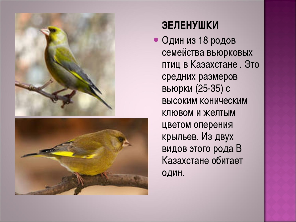 ЗЕЛЕНУШКИ Один из 18 родов семейства вьюрковых птиц в Казахстане . Это средн...