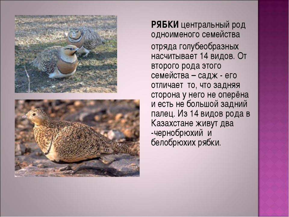 РЯБКИ центральный род одноименого семейства отряда голубеобразных насчитыва...