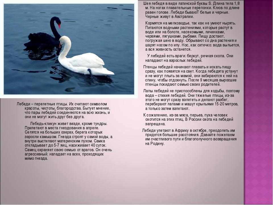 Шея лебедя в виде латинской буквы S. Длина тела 1,8 м. На ногах плавательные...
