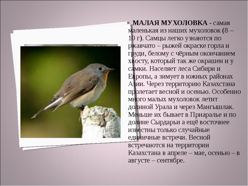 МАЛАЯ МУХОЛОВКА - самая маленькая из наших мухоловок (8 – 10 г). Самцы легко...