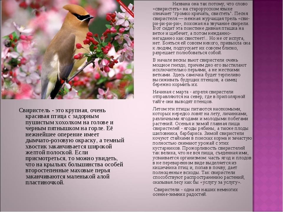 Названа она так потому, что слово «свиристеть» на старорусском языке означа...