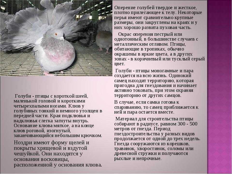 Оперение голубей твердое и жесткое, плотно прилегающее к телу. Некоторые п...