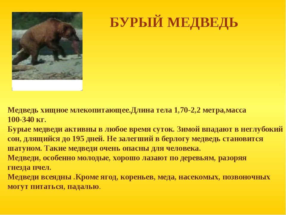БУРЫЙ МЕДВЕДЬ Медведь хищное млекопитающее.Длина тела 1,70-2,2 метра,масса 10...