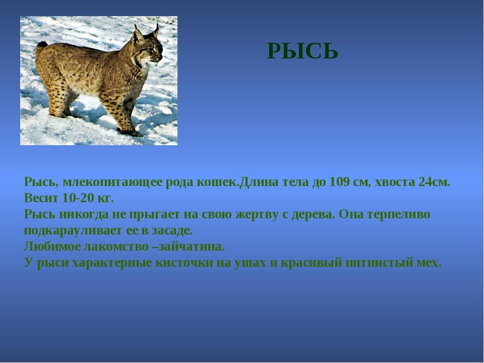 РЫСЬ Рысь, млекопитающее рода кошек.Длина тела до 109 см, хвоста 24см. Весит...