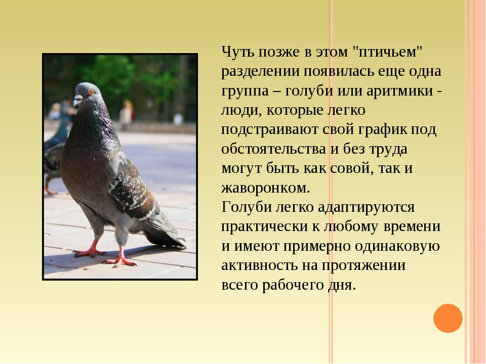"""Чуть позже в этом """"птичьем"""" разделении появилась еще одна группа – голуби или..."""