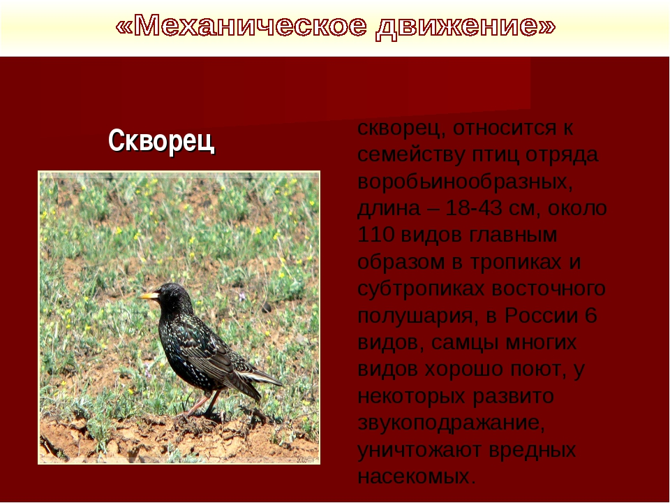 Скворец скворец, относится к семейству птиц отряда воробьинообразных, длина...