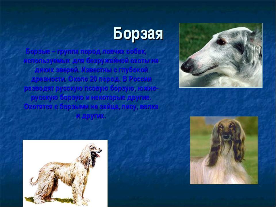 Борзая Борзые – группа пород ловчих собак, используемых для безружейной охоты...