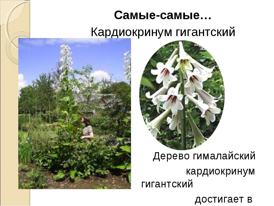 Самые-самые… Кардиокринум гигантский Дерево гималайский кардиокринум гигантск...