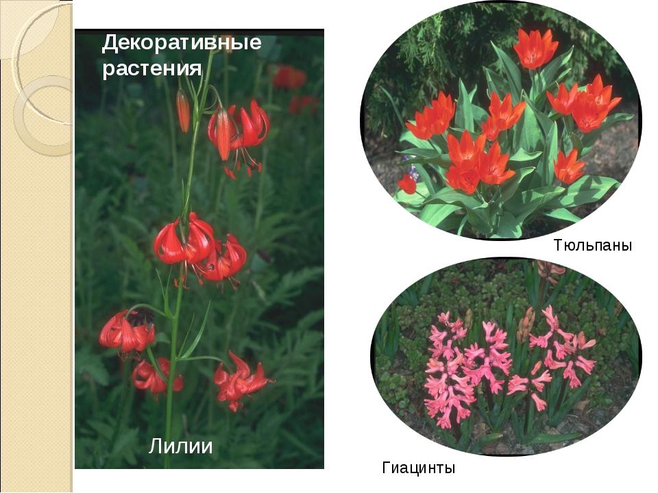 Декоративные растения Лилии Тюльпаны Гиацинты