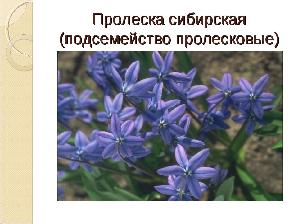 Пролеска сибирская (подсемейство пролесковые)