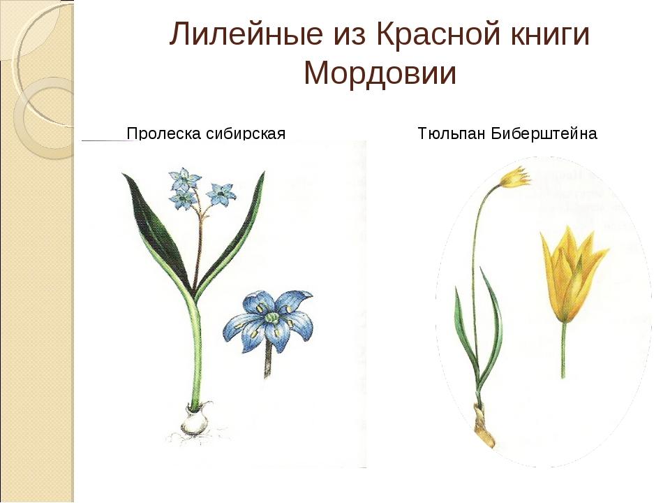 Лилейные из Красной книги Мордовии Пролеска сибирская Тюльпан Биберштейна