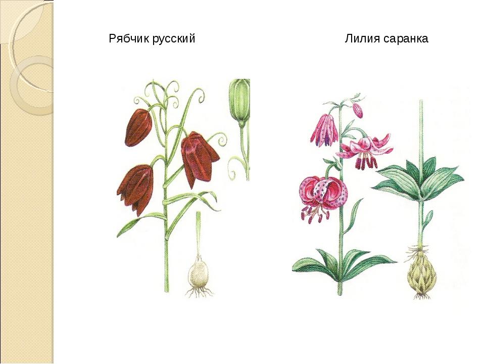 Рябчик русский Лилия саранка