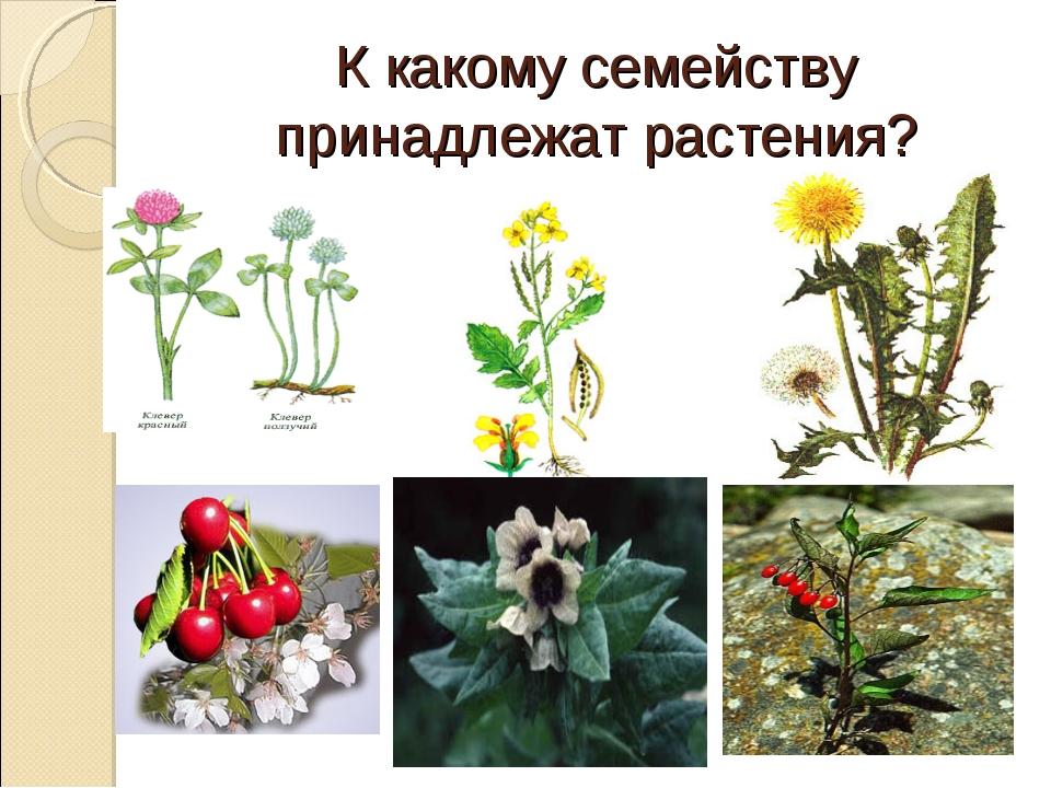 К какому семейству принадлежат растения?