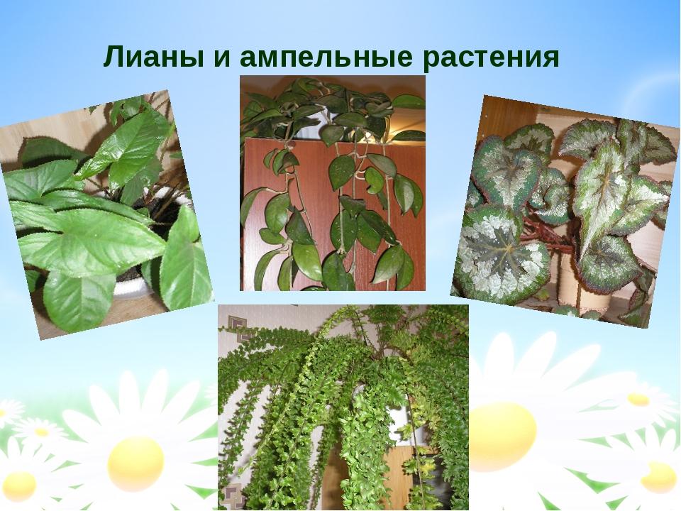 Лианы и ампельные растения