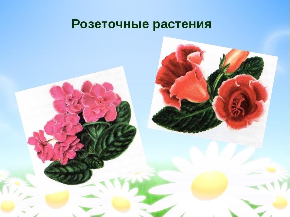 Розеточные растения