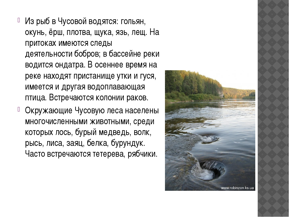 Из рыб в Чусовой водятся: гольян, окунь, ёрш, плотва, щука, язь, лещ. На прит...