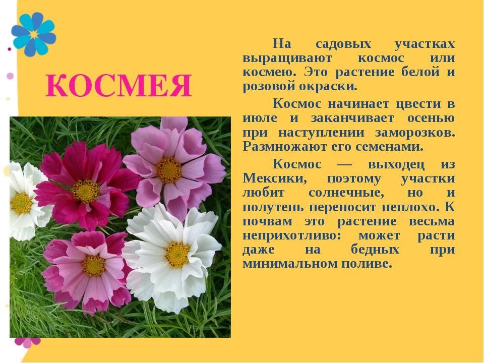 КОСМЕЯ На садовых участках выращивают космос или космею. Это растение белой...
