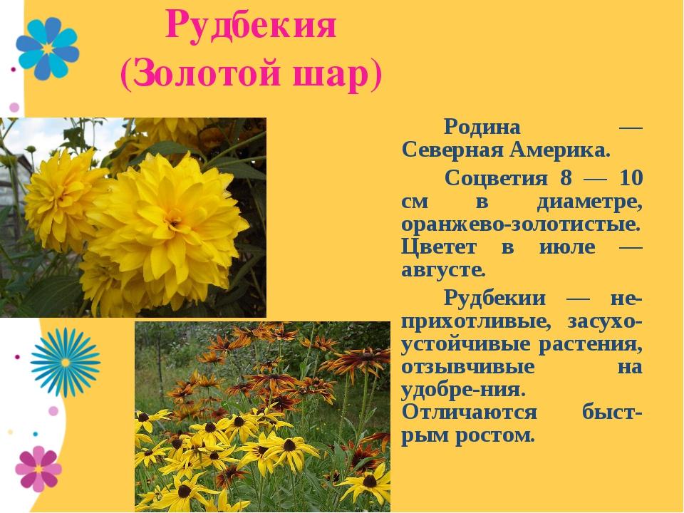 Рудбекия (Золотой шар) Родина — Северная Америка. Соцветия 8 — 10 см в ди...