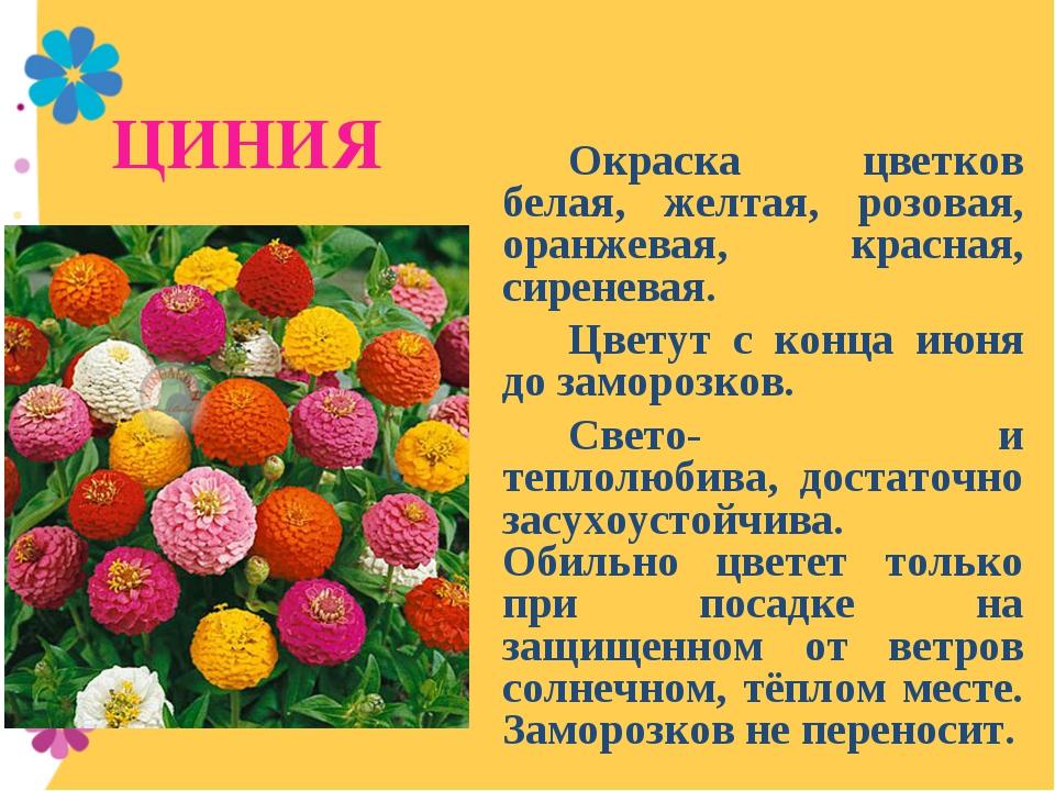 ЦИНИЯ Окраска цветков белая, желтая, розовая, оранжевая, красная, сиреневая...