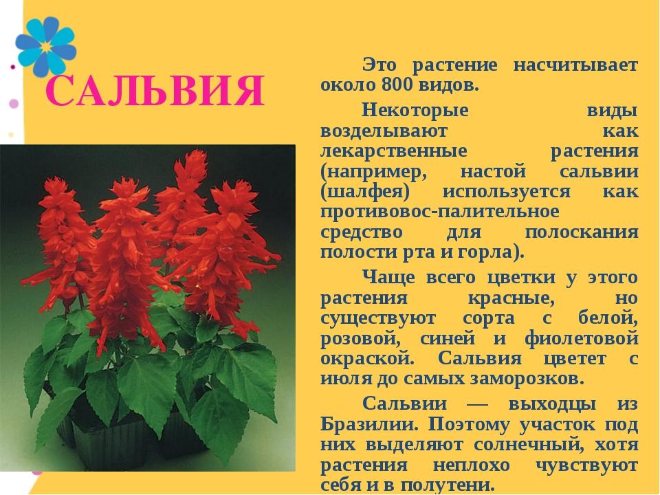 САЛЬВИЯ Это растение насчитывает около 800 видов. Некоторые виды возделыв...