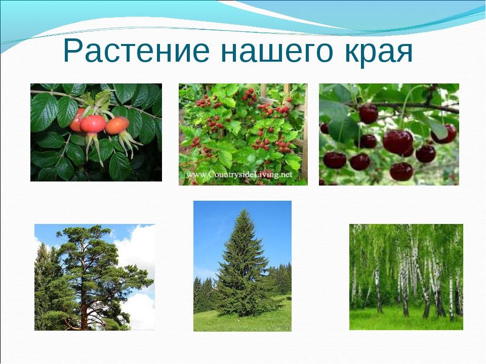 Растение нашего края