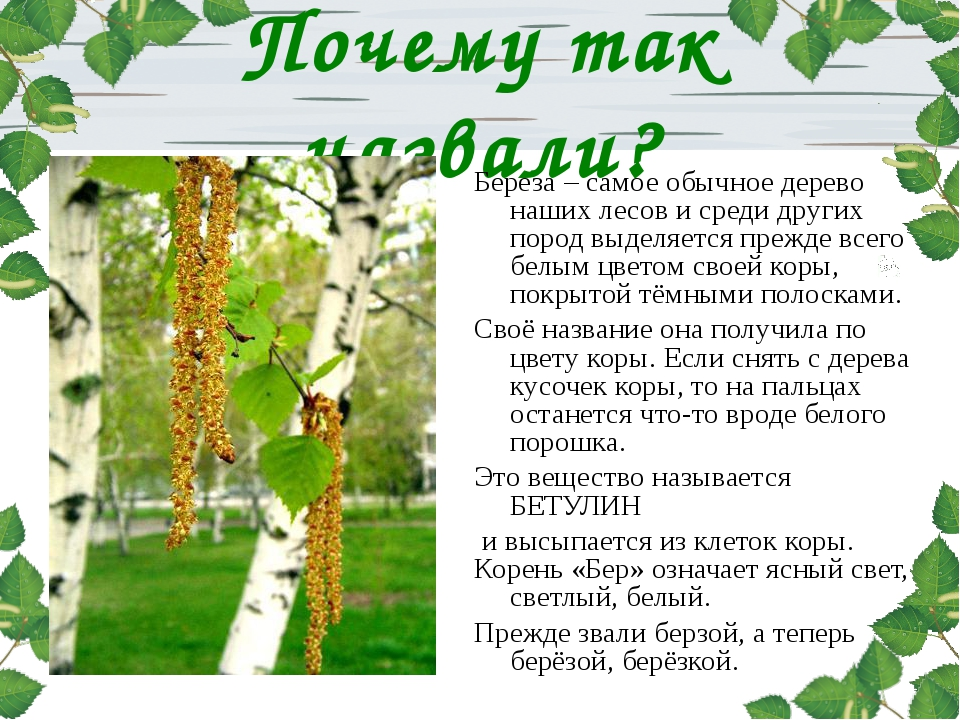 Почему так назвали? Береза – самое обычное дерево наших лесов и среди других...