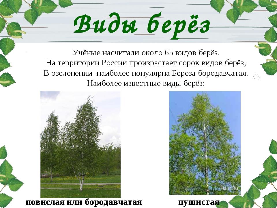 Виды берёз Учёные насчитали около 65 видов берёз. На территории России произр...