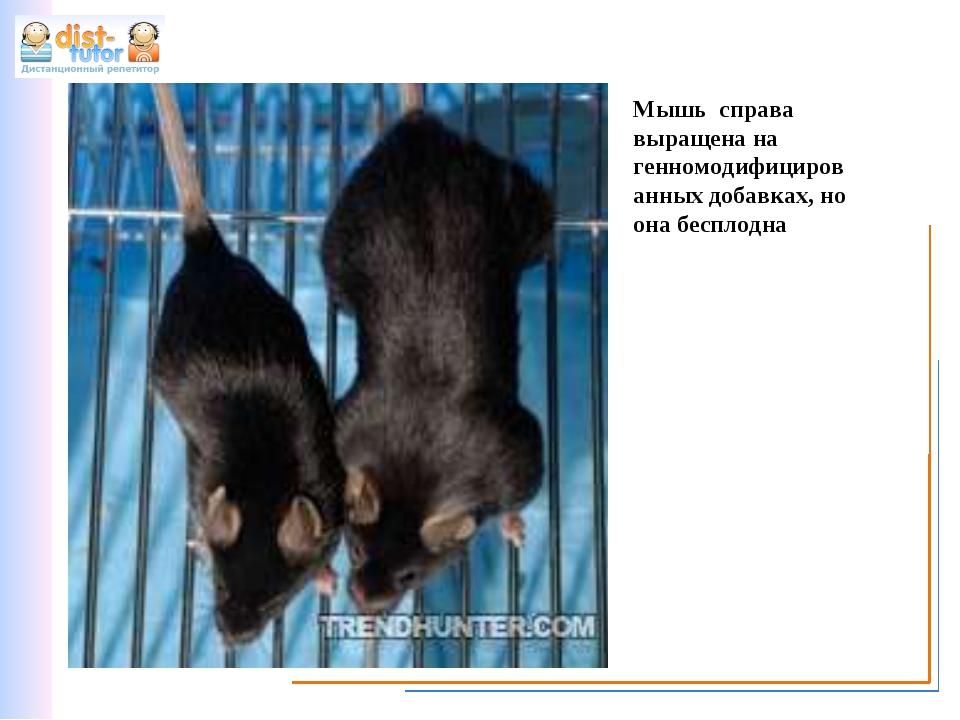 Мышь справа выращена на генномодифицированных добавках, но она бесплодна