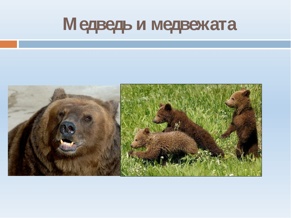 Медведь и медвежата