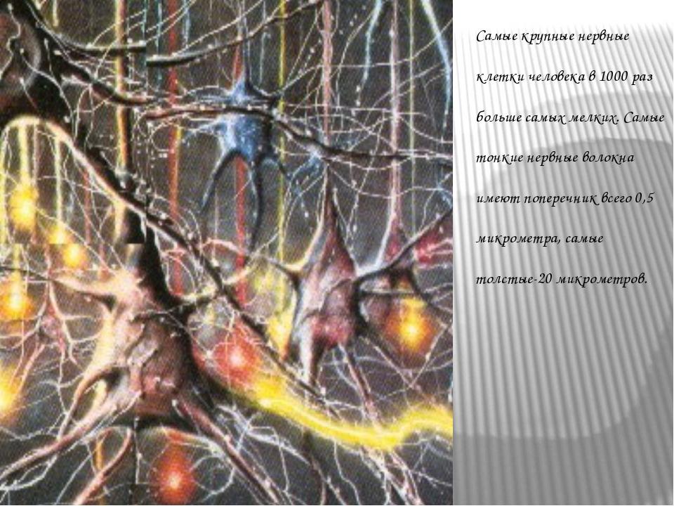 Самые крупные нервные клетки человека в 1000 раз больше самых мелких. Самые т...