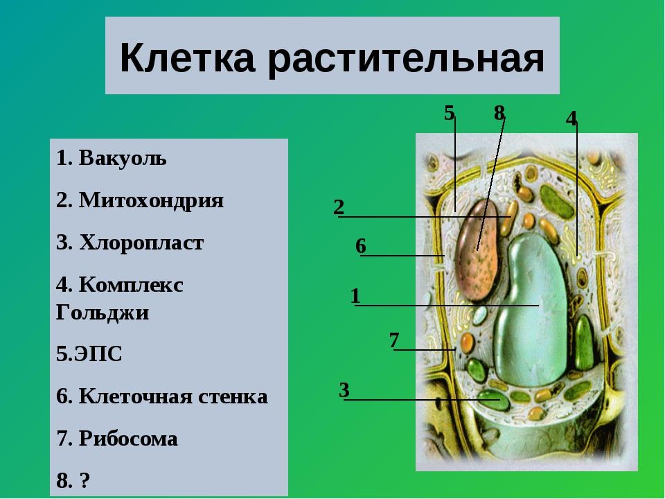 Клетка растительная 1 2 3 4 5 6 7 8 1. Вакуоль 2. Митохондрия 3. Хлоропласт 4...