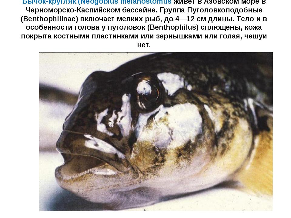 Бычок-кругляк (Neogobius melanostomus живет в Азовском море в Черноморско-Кас...