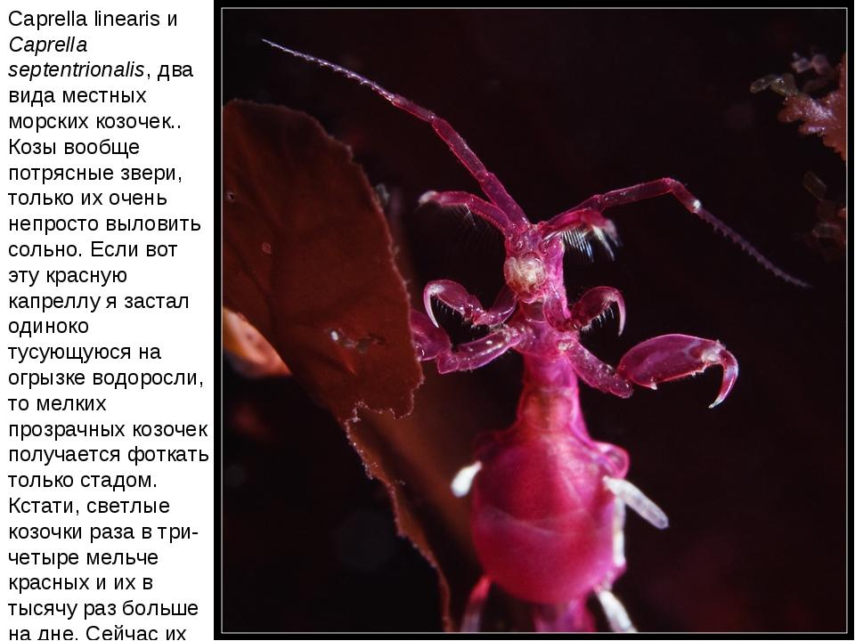 Caprella linearis и Caprella septentrionalis, два вида местных морских козоче...