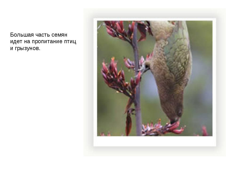 Большая часть семян идет на пропитание птиц и грызунов.