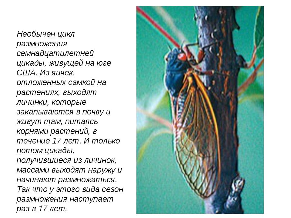 Необычен цикл размножения семнадцатилетней цикады, живущей на юге США. Из яич...