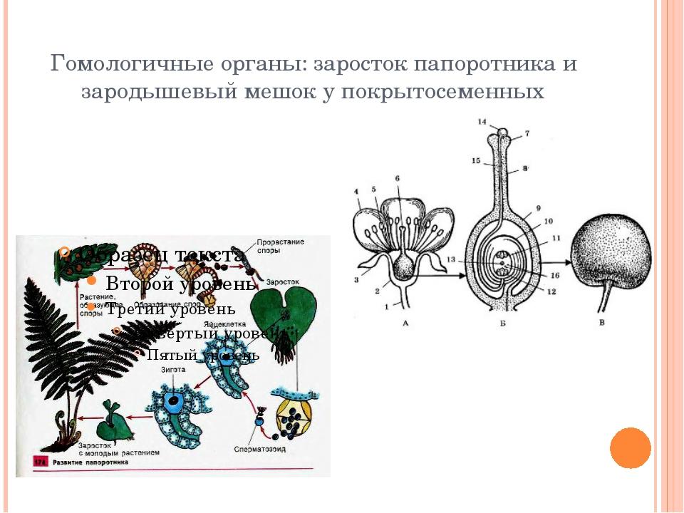 Гомологичные органы: заросток папоротника и зародышевый мешок у покрытосеменных