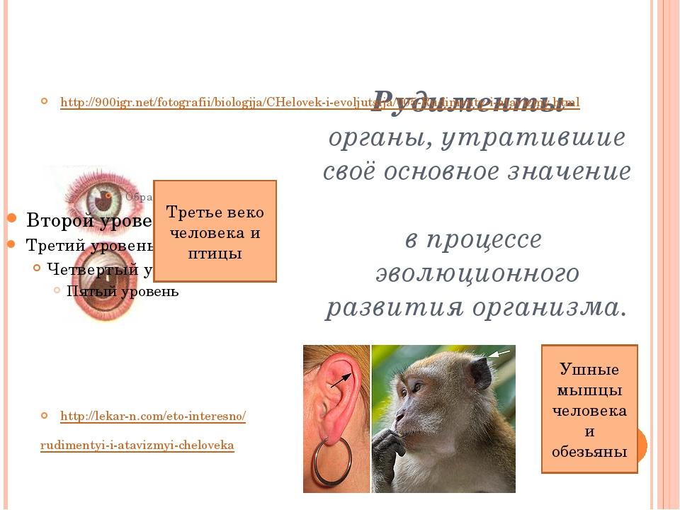Рудименты- органы, утратившие своё основное значение в процессе эволюционно...