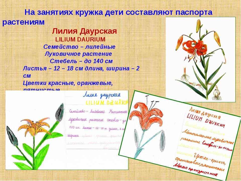 На занятиях кружка дети составляют паспорта растениям Лилия Даурская LILIUM...